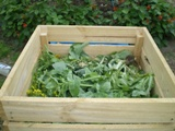 Gone to seed Vegies from Garden